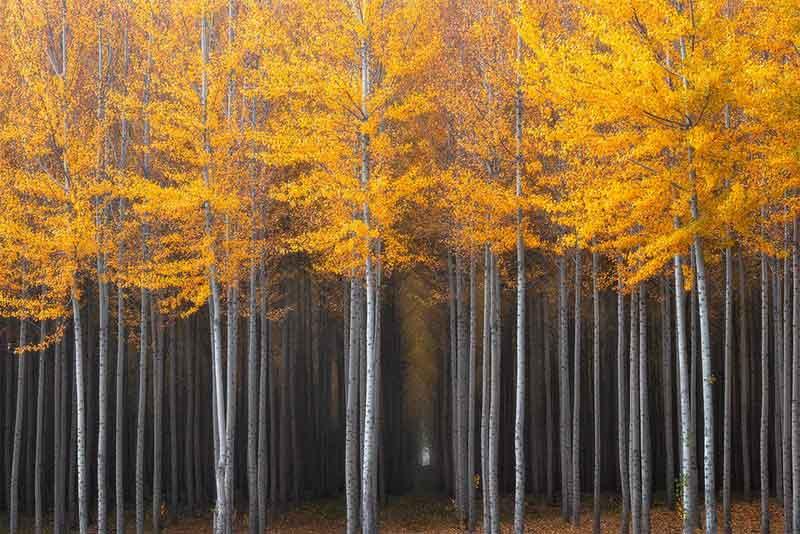 Bosque de álamos